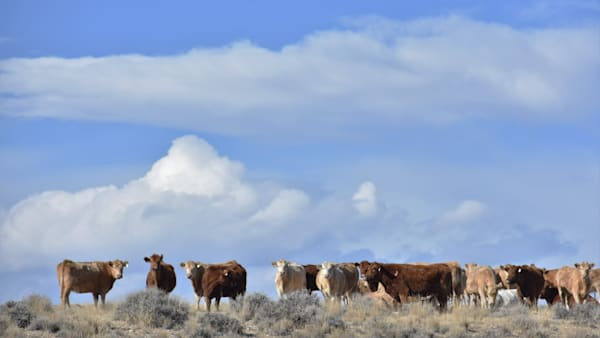 Photograph of Red and White Cattle for sale as Fine Art