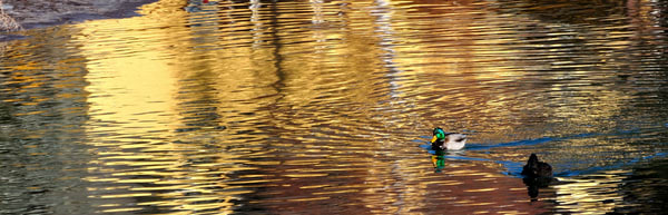 Reflections and ducks on the Deschutes River. Bend, Oregon