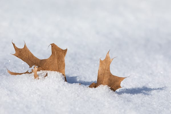 Oak leaf captured in fresh snow - shop prints | Closer Views