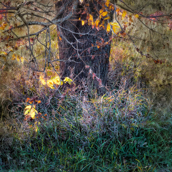 If You Love Trees Collection - color | Grass Dance. A sensitively done fine art photographic image of a tree in Autumn by David Zlotky.