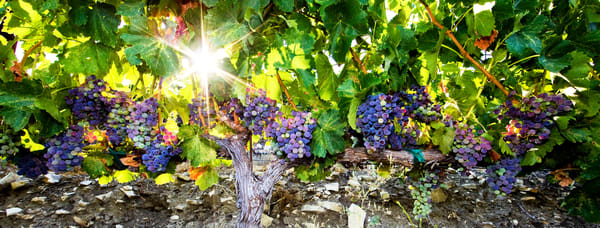 Vineyard Sunburst by Josh Kimball Photography