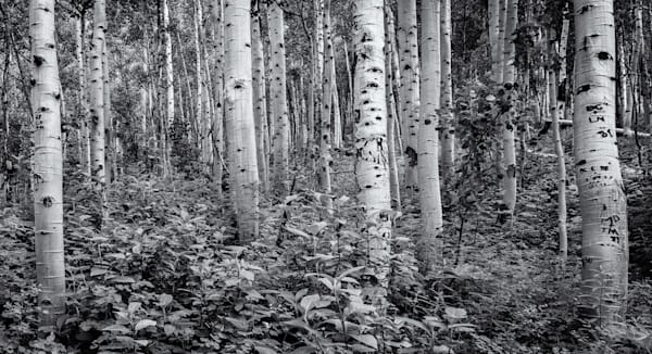 Aspens - Maroon Bell Wilderness Colorado