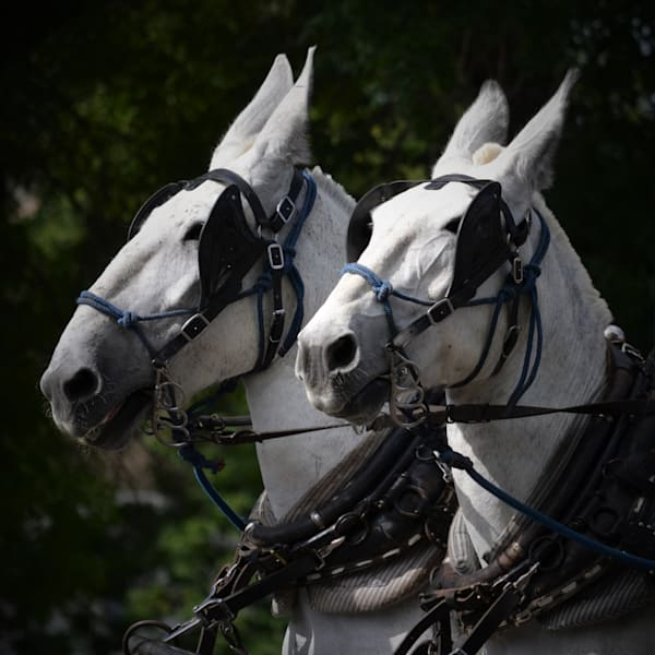 Fine art photograph of a team of mules for sale