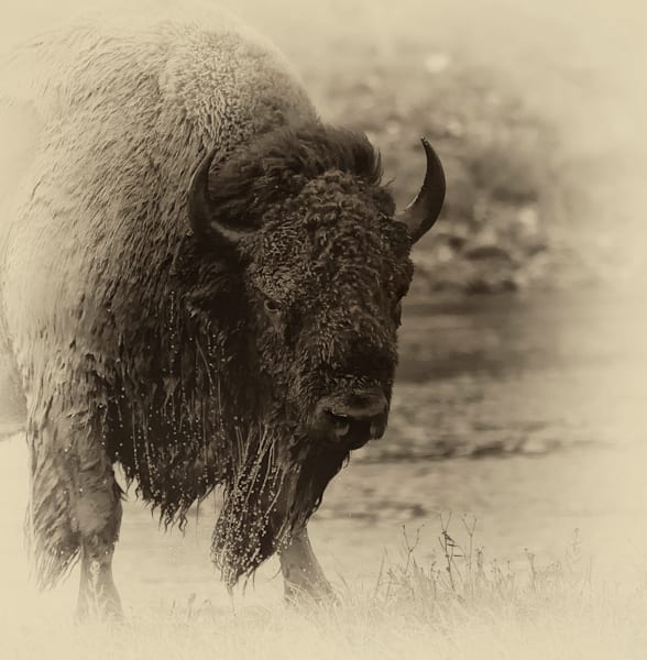 Bison Print of Yellowstone National Park