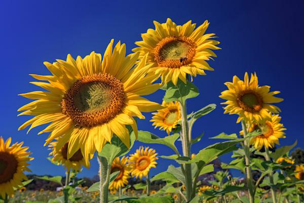Golden Sun by Rick Berk