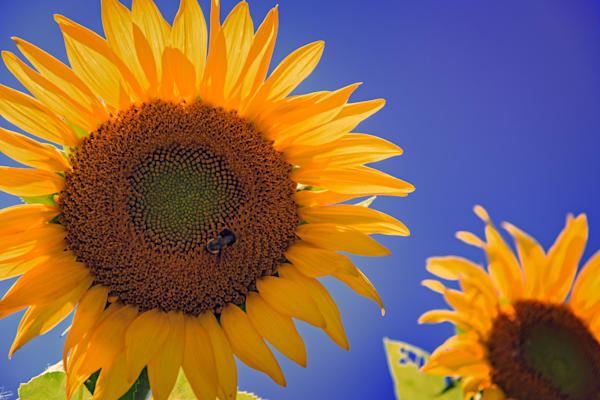 Sunflower Radiance by Rick Berk