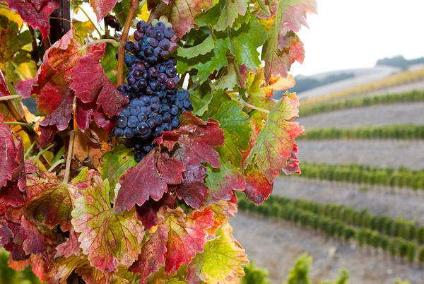 Grenache at Harvest by Josh Kimball Photography