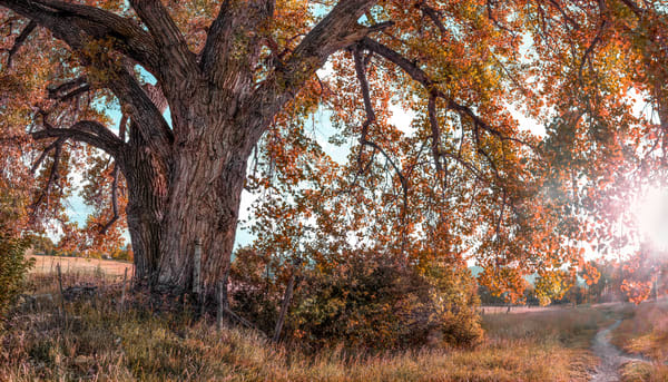 Golden Light Collection - color | End of Summer Cottonwood. A beautiful old cottonwood in the fall. Fine art color photograph by David Zlotky.