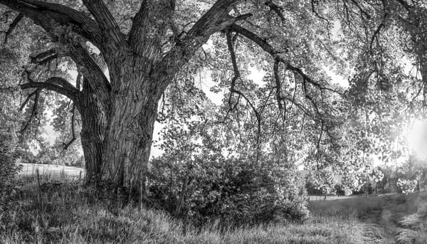 Luninous Light Collection | End of Summer Cottonwood - bw. Evening light illuminates an old cottonwood in this fine art black and white photograph by David Zlotky.