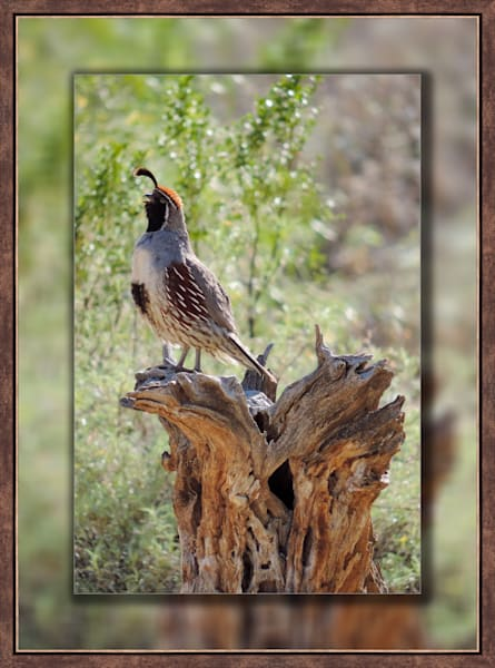 Quail - Male Singing 3D Bronze Narrow