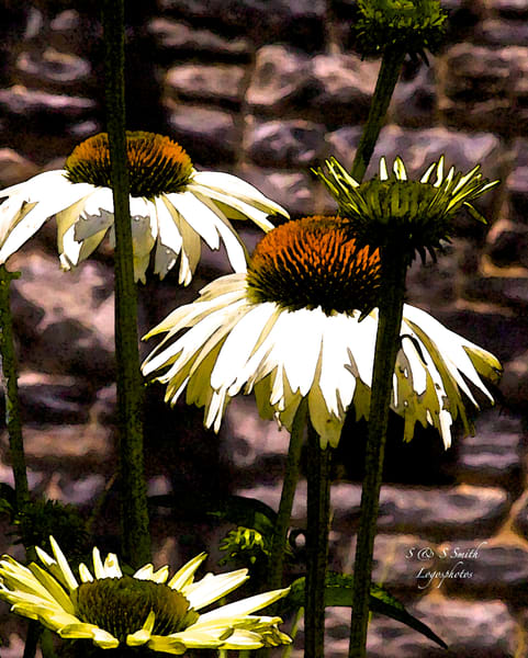 Dark Daisies | Art By Smiths - Wonderful World of Flowers Photography