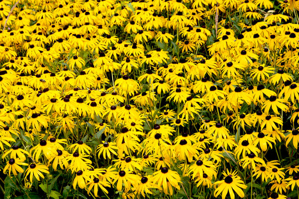 Field of Black Eyed Susans | Art By Smiths - Wonderful World of Flowers Photography