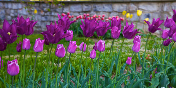 Purple Tulips and rock wall 1 to 2 ratio