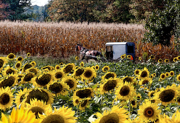 sunflower field Amish buggy