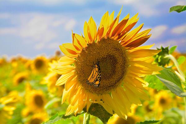 sunflowerbutterflyc