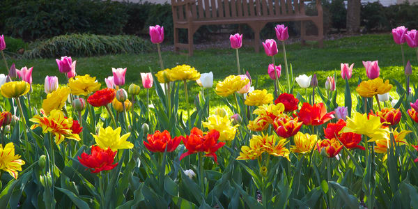 Colorful Tulips and bench 1 to 2 ratio
