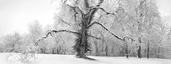 Panoramas/Wide View - bw   Grand Old Man - bw. The wide-view format compliments the broad form of this grand old tree. Black and white fine art photograph by David Zlotky.