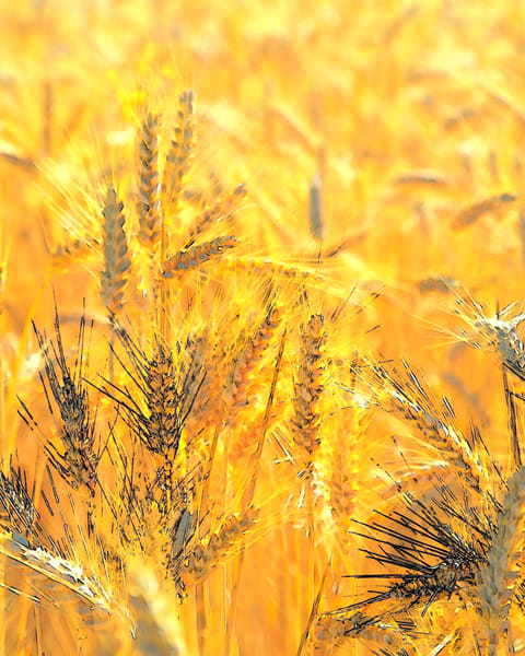 Wheatscape 6344
