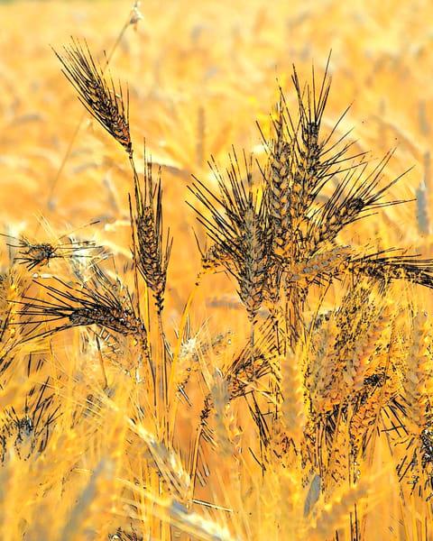 Wheatscape 6345