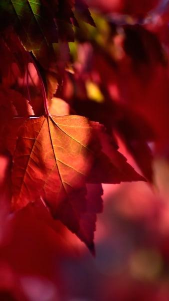 Maple Leaf Highlight