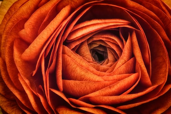 Ranonkel Oranje by Rick Berk
