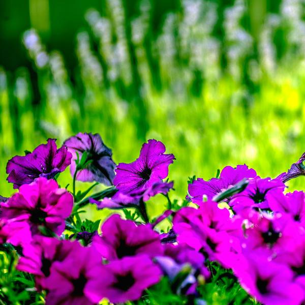 Petunias Lavender Background