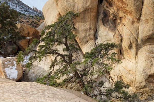 Winter Tree   Joshua Tree National Park Photography Art | Will Nourse Photography