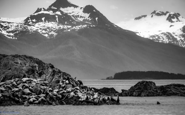 Steller Sea Lion Rookery off Brothers Island Chatham Strait