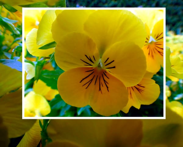 Spring Yellow Cllg