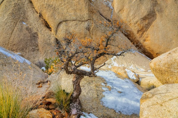 Persistence   Joshua Tree National Park Photography Art | Will Nourse Photography