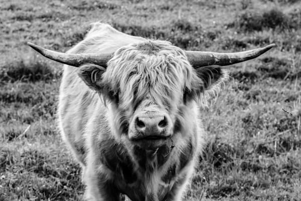 Highland Cow Staring Contest |Farm and Pasture Fine Art Photography | Travel Photos | Nathan Larson Photography