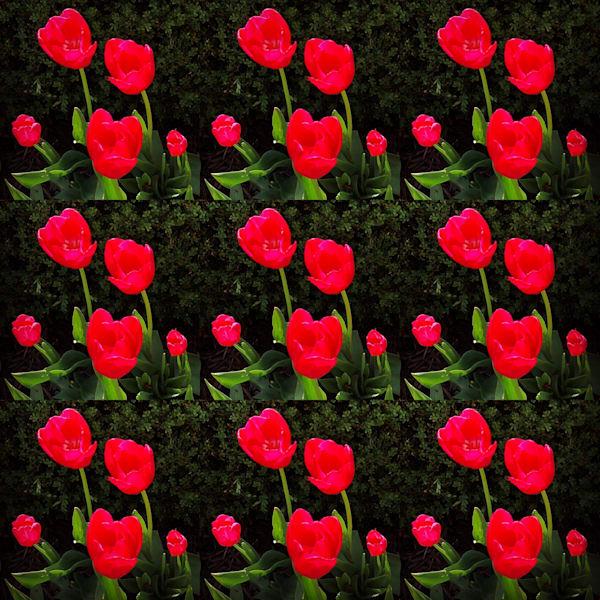 Tulips Galore Photography Art | Lisa Kiene Photography
