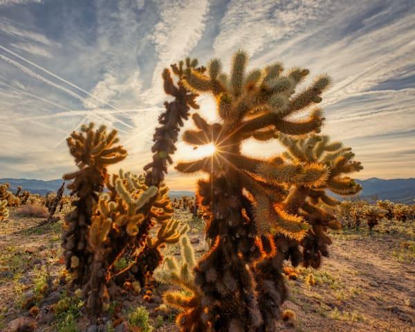 Cholla Cactus Morning   Joshua Tree National Park Photography Art | Will Nourse Photography