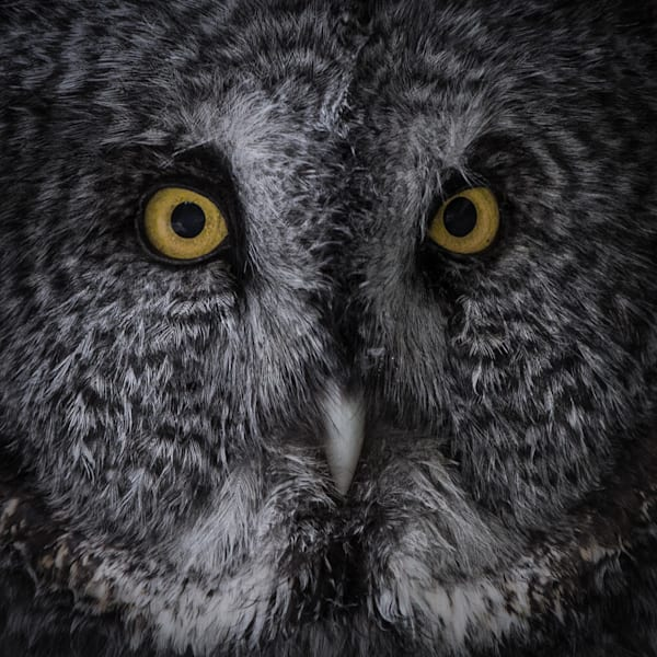 Great Grey Owl | Raptor Photos | Large Format Commercial Photography | Nathan Larson