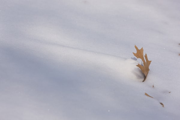 Mini-snowdrift and Oak Leaf - shop prints | Closer Views