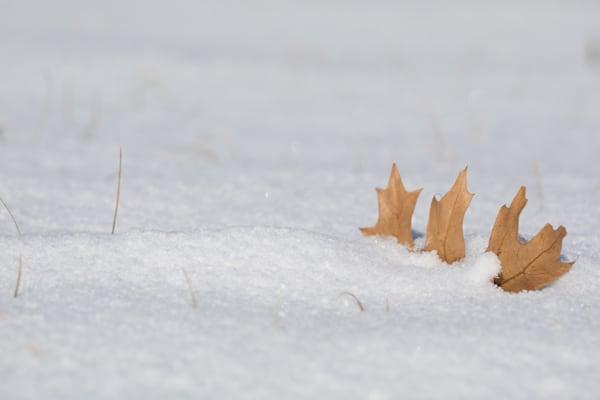 Oak leaf in mini-snowdrift #1 - shop prints | Closer Views