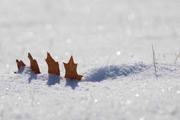 Oak leaf in mini-snowdrift #2 - shop prints | Closer Views