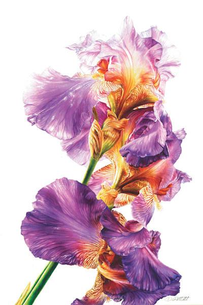Botanical Iris Original Watercolor