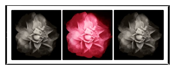 Photographs of three flowers in black and white and color.