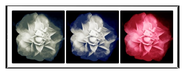 Photograph of flowers in color and black and white.