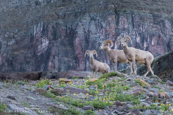 Montana Big Horn Sheep wildlife photo/Glacier National Park photography posters