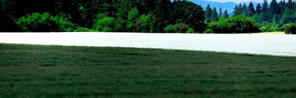 White Mustard Field