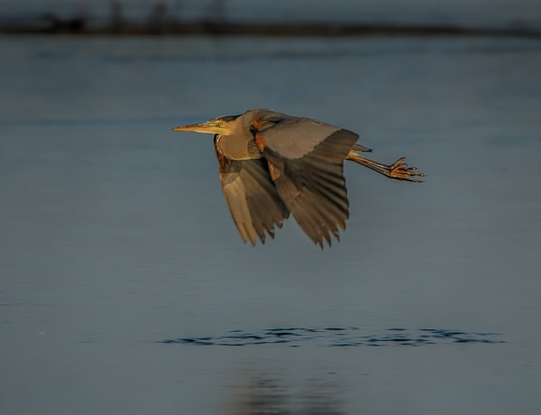 South Beach Blue Heron In Flight
