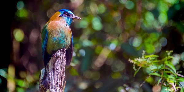 Blue Visitor - Monteverde, Costa Rica