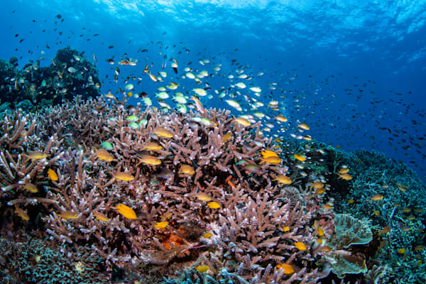 A Healthy Eco System is depicted in this fine art photograph of a coral reef and fish available for sale