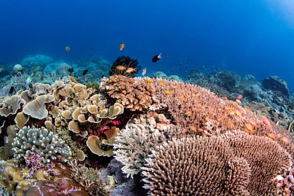 Hard Coral Reef is a fine art photograph for sale of a healthy coral reef with fish.
