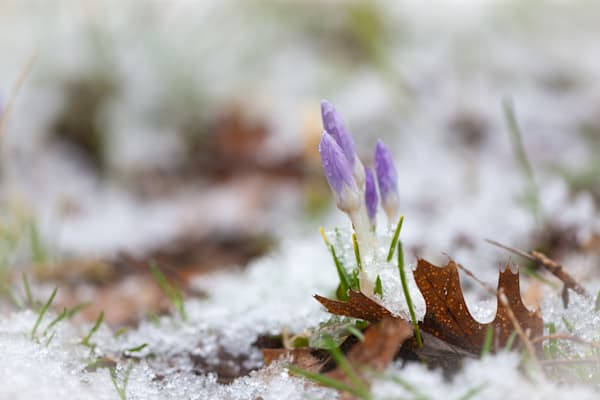 Early Crocus flowers in fresh snow - shop prints | Closer Views