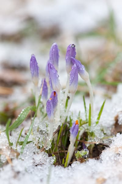 Early spring crocus in snow, image #2 - fine art photograph