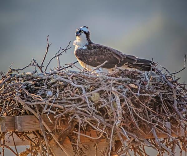 Cape Poge Osprey