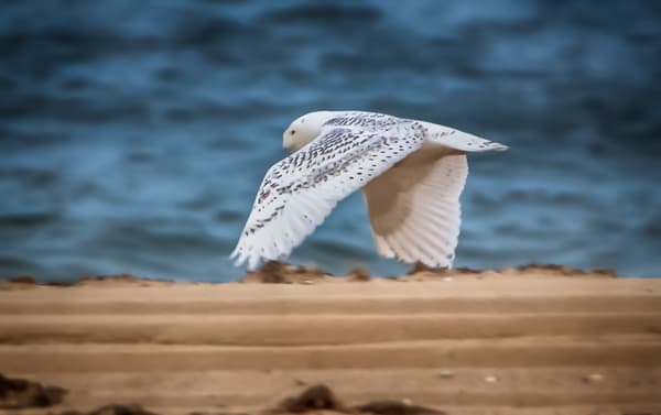 Cape Poge Snowy Owl in Flight